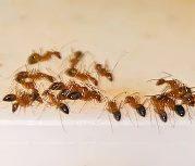 в ванной появились муравьи